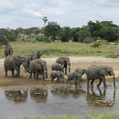 Projects Abroad volunteers in Tanzania can see wildife like elephants during their time overseas.